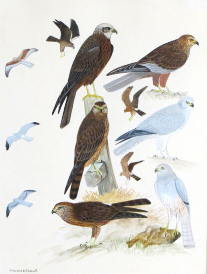 MW-Woodcock-birds-of-prey-illustration